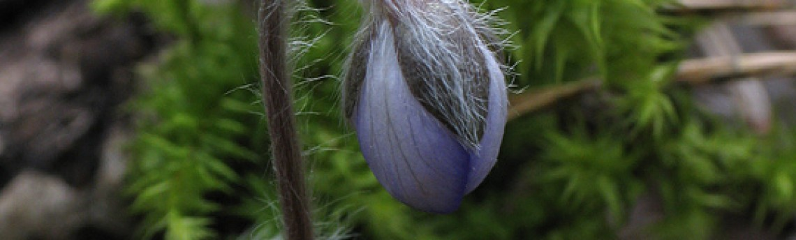 Liverleaf – Anemone hepatica