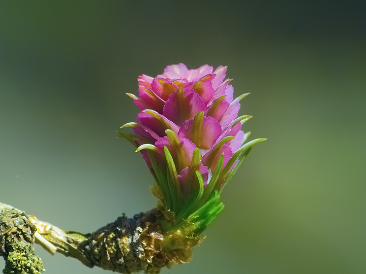 Female cone of European Larch(young)