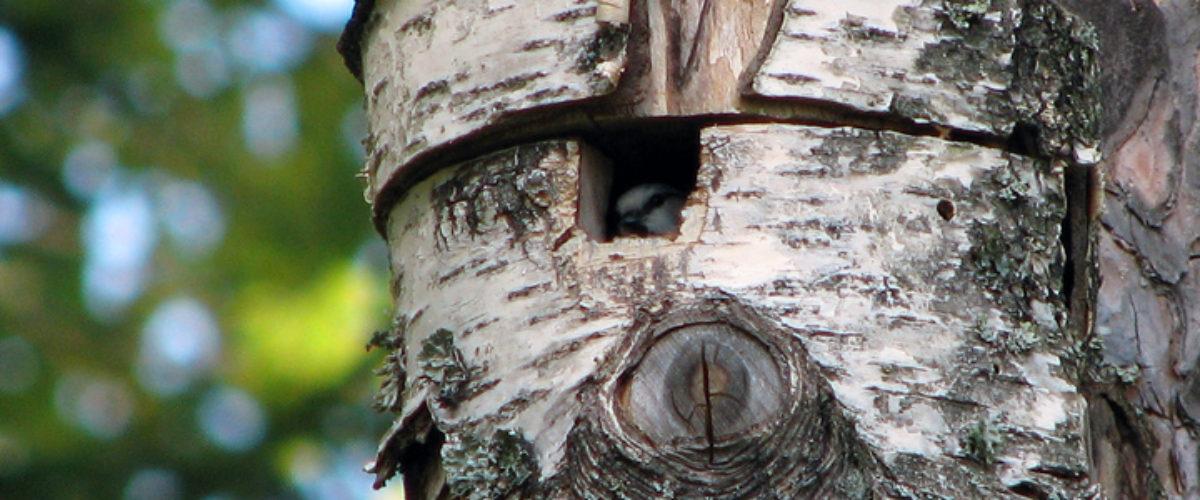 Blue Tit hiding inside the nest