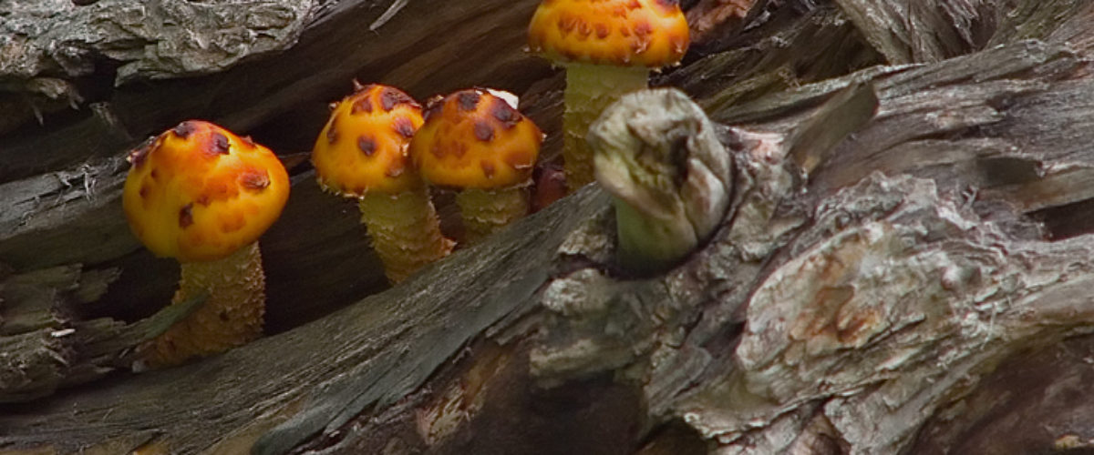 Mushrooms growing high up in a tree