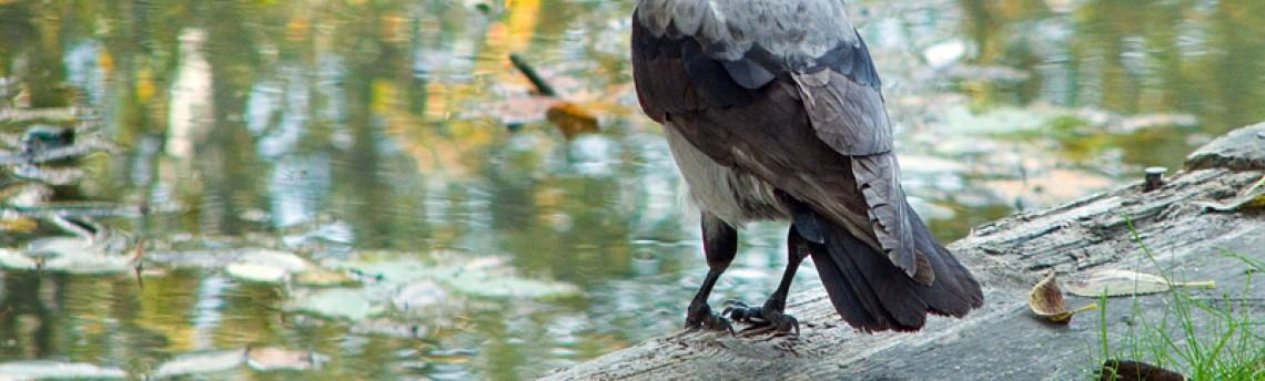 Hooded Crow –  Corvus corone