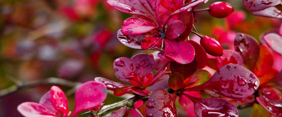 Red, red, red..... Japanese Barberry