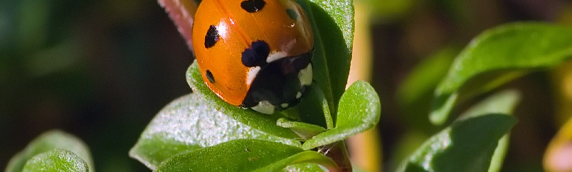 Ladybug – Coccinellidae, October 17th.