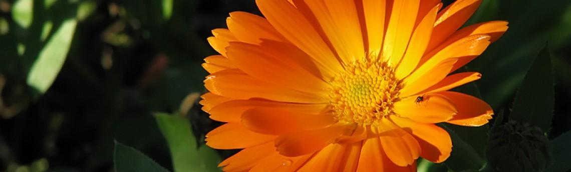 Pot Marigold or English Marigold (Calendula officinalis)