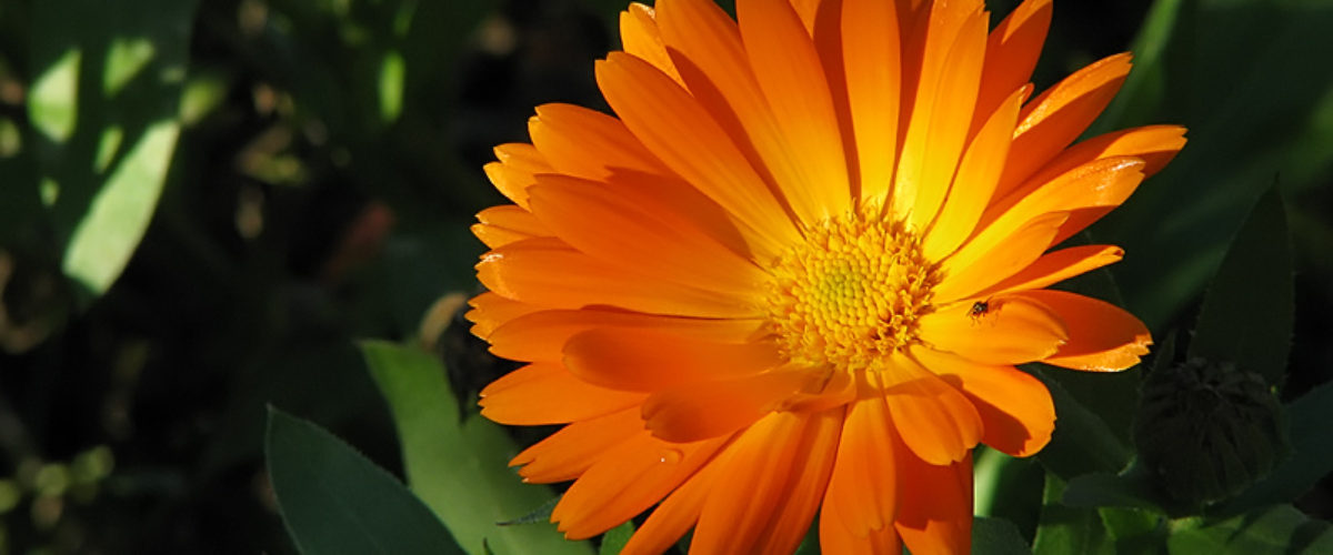 Pot Marigold or English Marigold (Calendula officinalis)