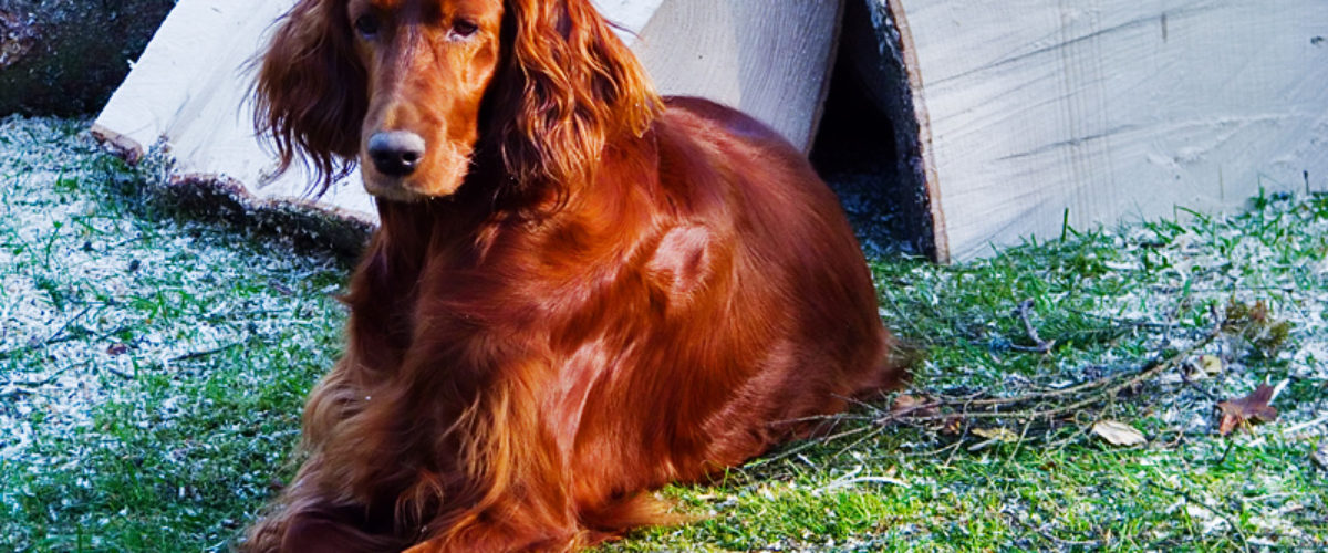 An Irish red setter called Ida.