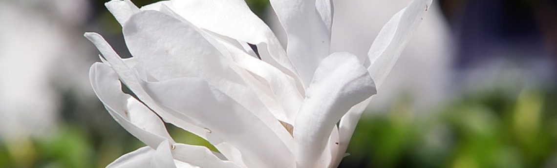 White, Bright and Beautiful – Magnolia