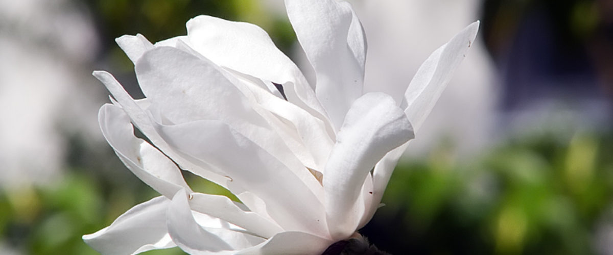 White, Bright and Beautiful - Magnolia