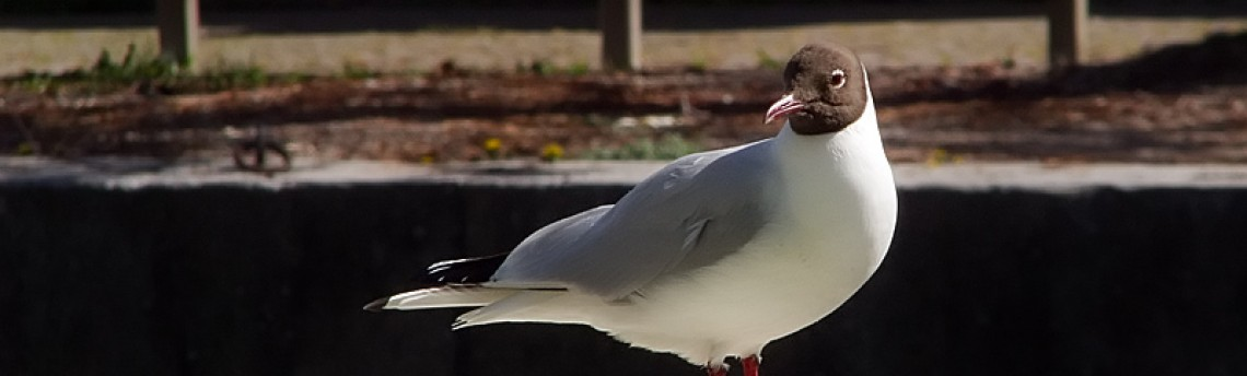 Black-headed Gull – Larus ridibundus