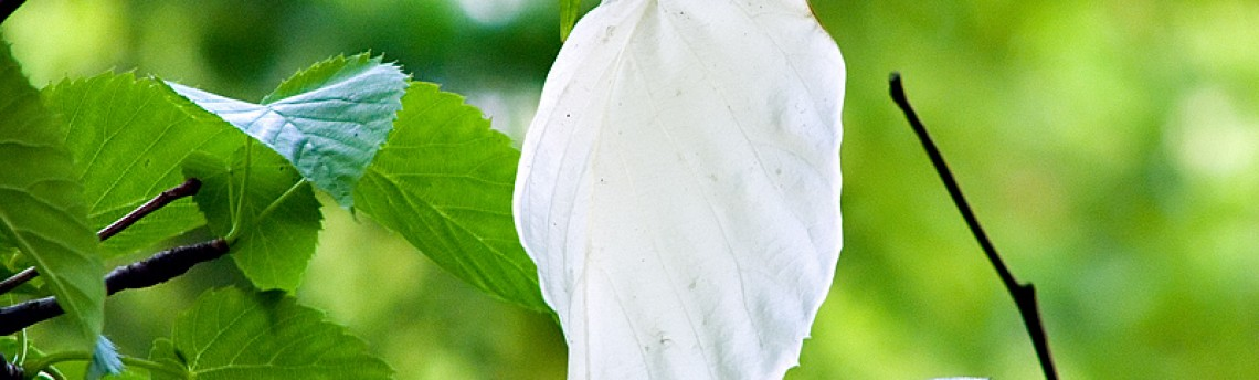 Dove Tree – Pocket Handkerchief Tree