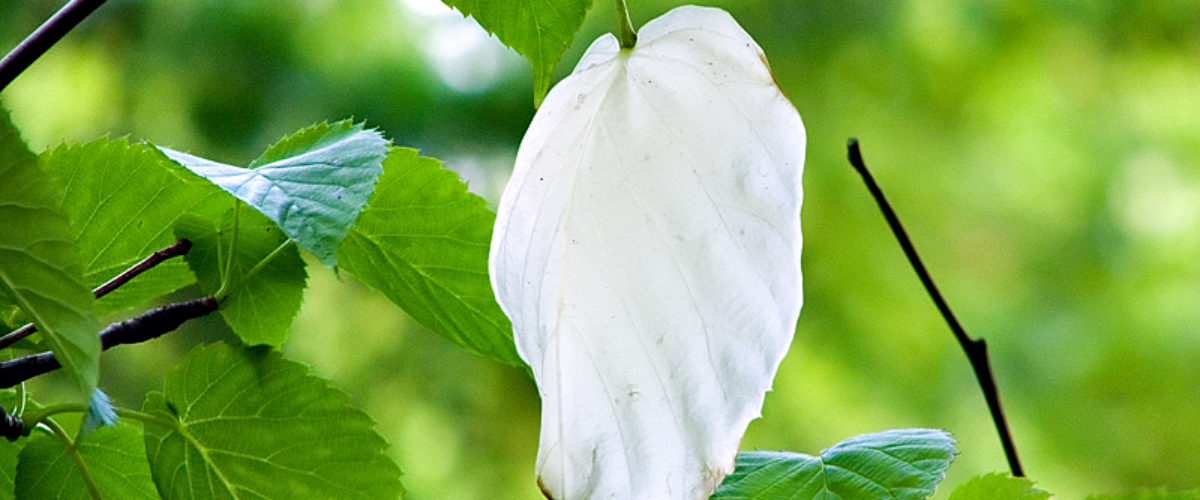 Dove Tree - Pocket Handkerchief Tree