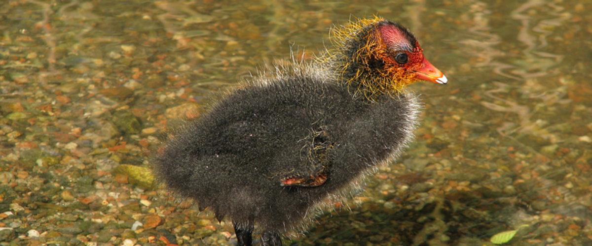 Eurasian Coot - Fulica Atra