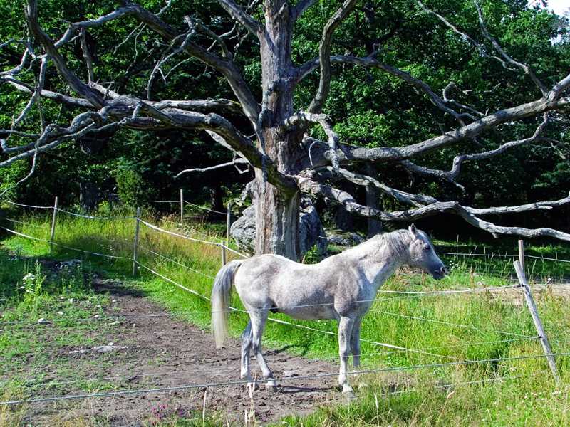 Horse and Tree