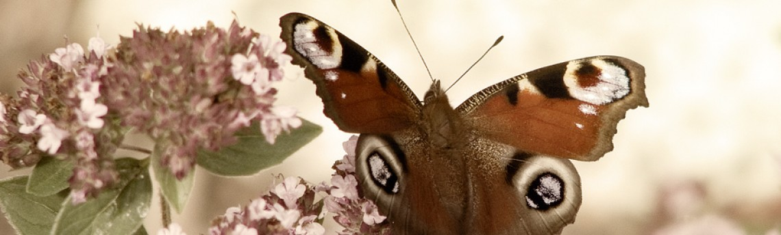 A butterfly in my flowerbed