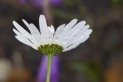 Still in bloom