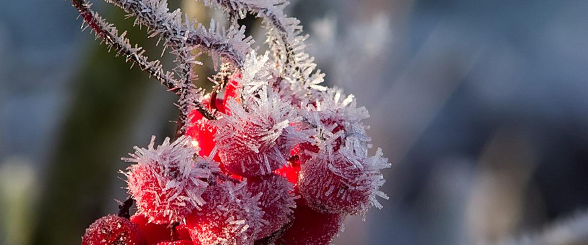 Frozen sloes