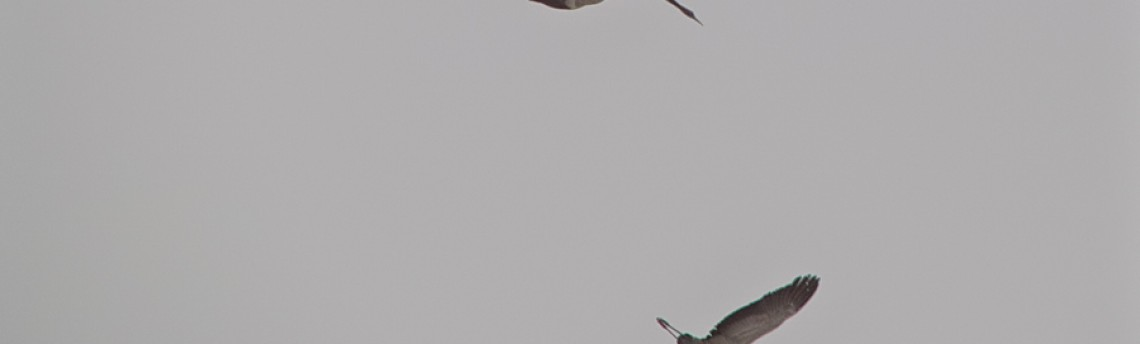 Eurasian Crane – Grus grus