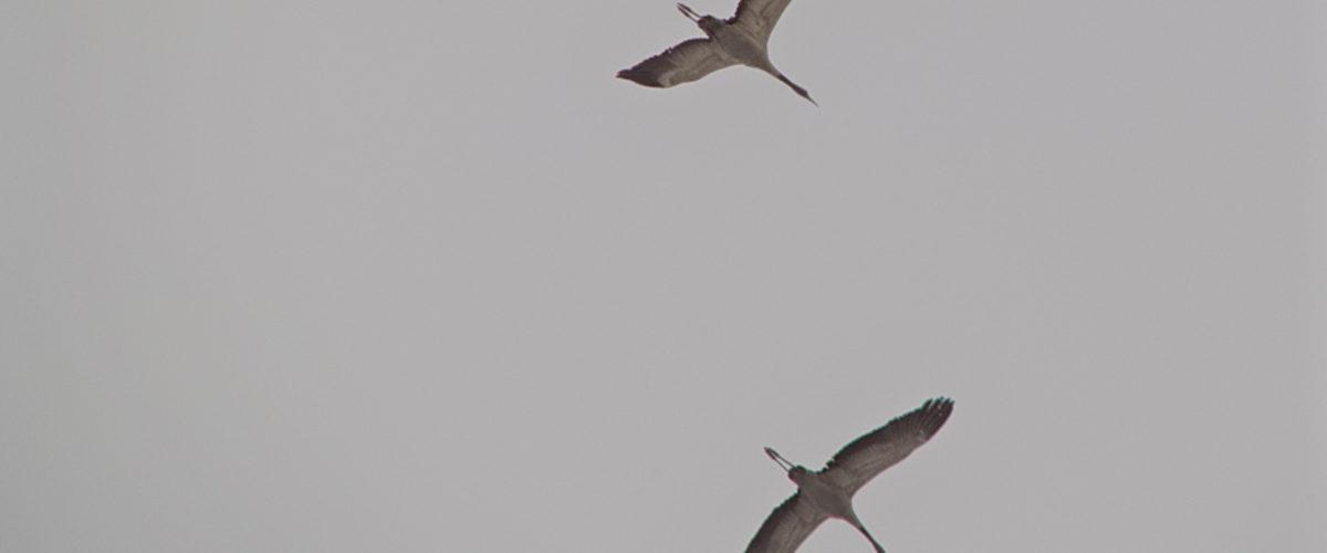 Eurasian Crane - Grus grus