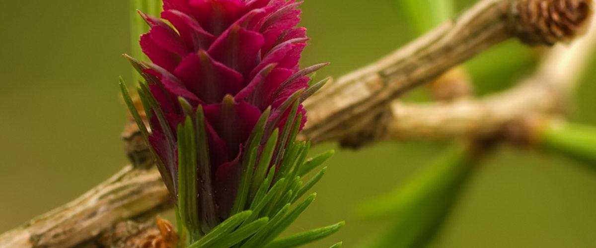 European Larch in bloom