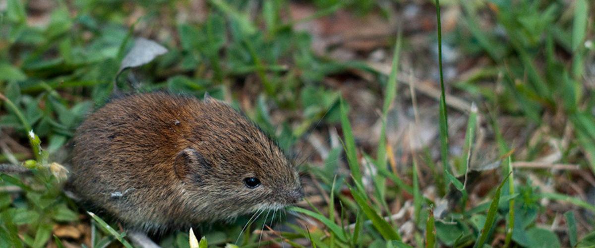 Little wood mouse