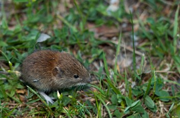 small wood mouse