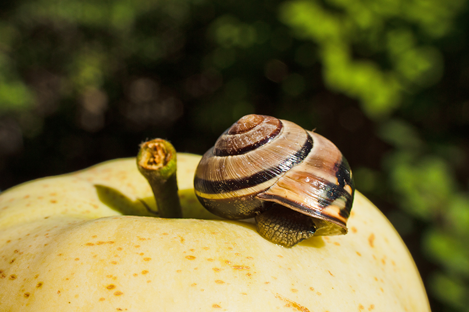 the apple and the snail