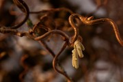 Witch-hazel