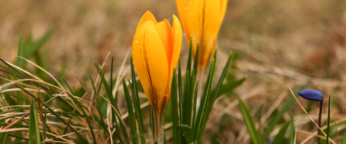 Last of the crocus images