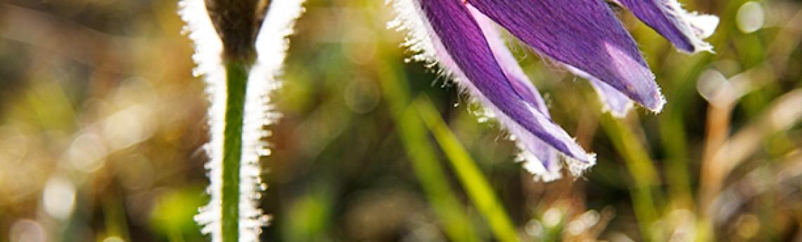 Pasqueflower – Pulsatilla vulgaris Mill.