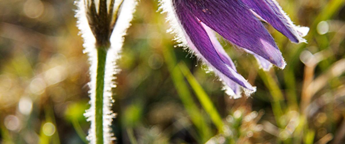Pasqueflower - Pulsatilla vulgaris Mill.