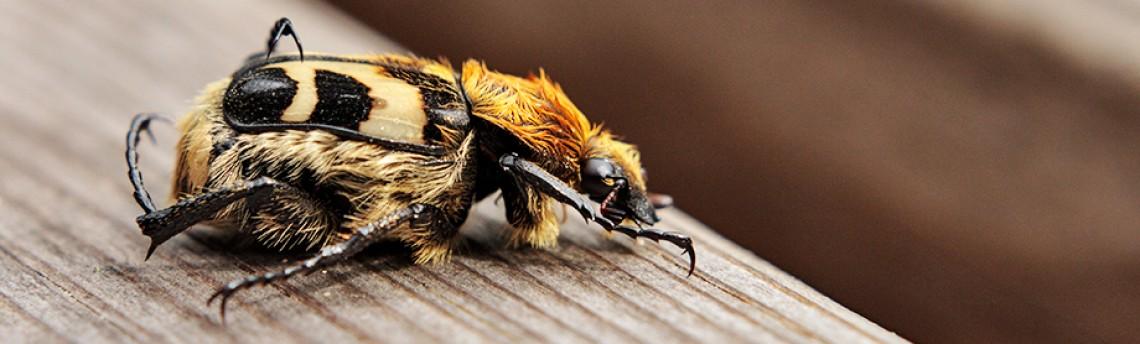 Bee beetle – Trichius fasciatus