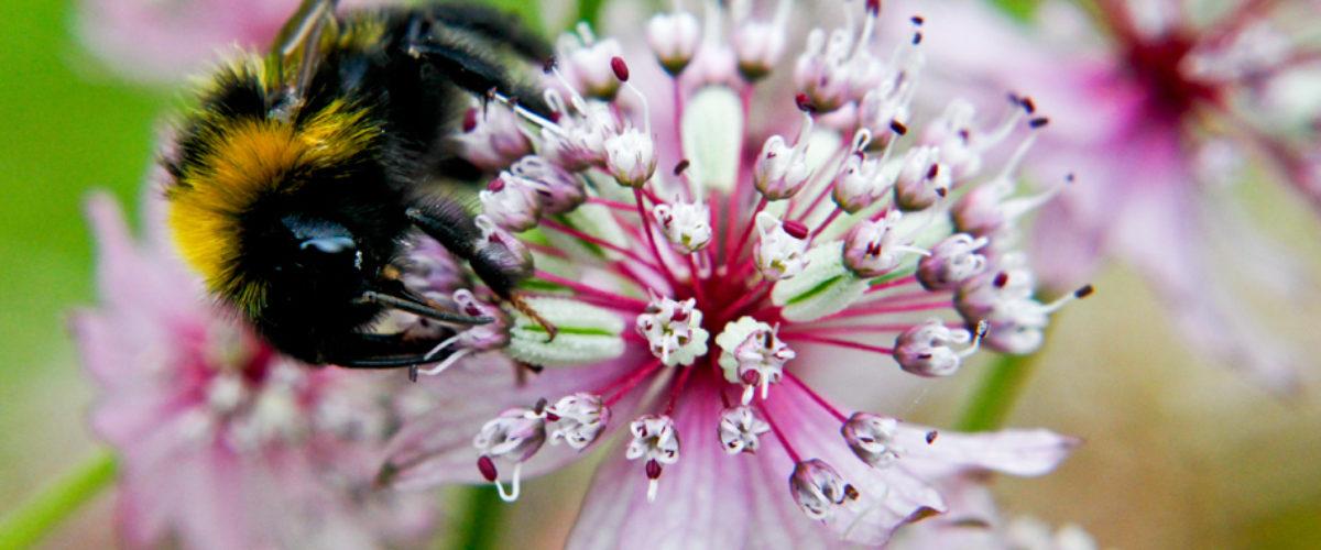 Bumblebee on Astrantia Major