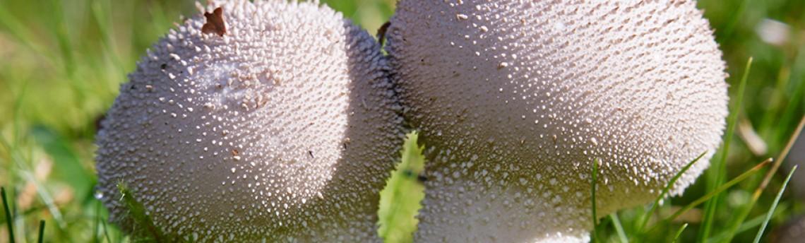 Warted puffball – Lycoperdon perlatum