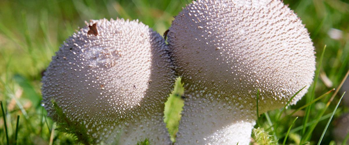 Warted puffball - Lycoperdon perlatum