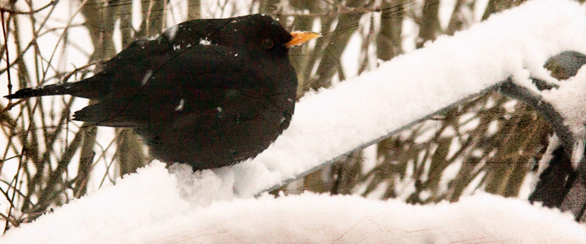 Blackbird in the cold