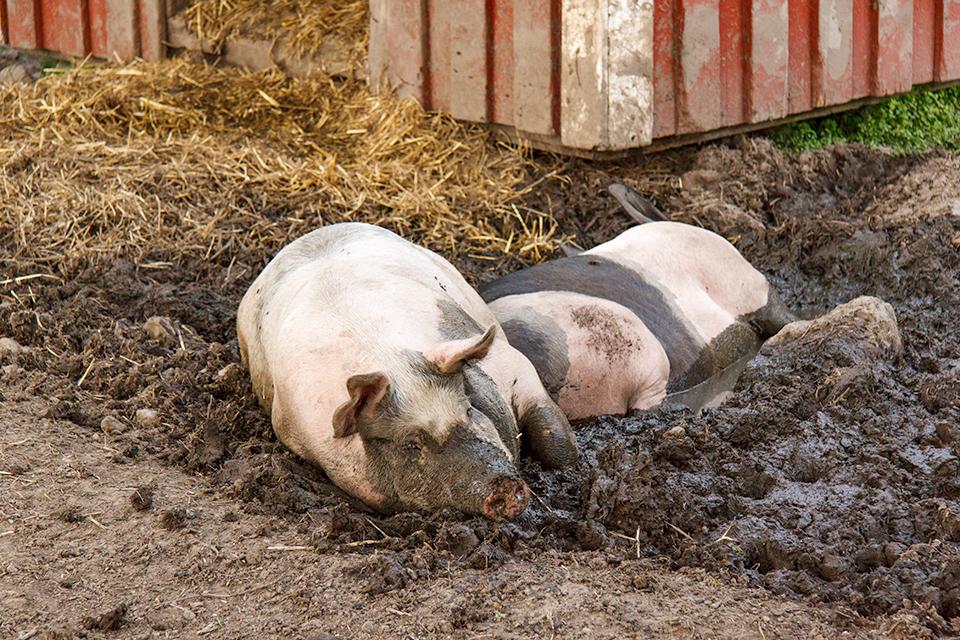Pig Spa