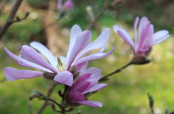 My Magnolia dream