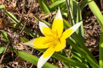 Mini Tulip